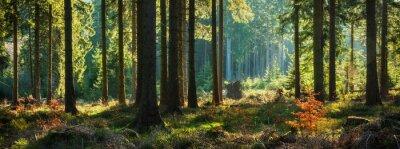 Plakat Panoramiczny słoneczny las jesienią