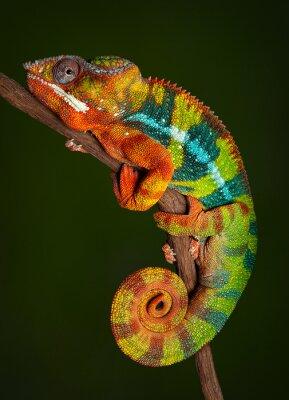 Plakat Panther Chameleon at rest
