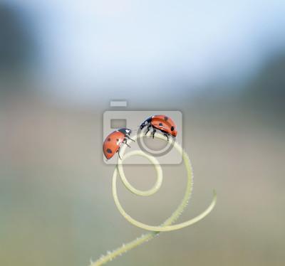 Plakat para małych biedronek czołgających się ku sobie przez labirynt źdźbeł trawy na letniej łące
