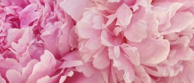 Plakat Peony petals pink rose flowers