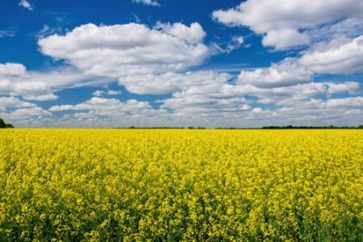 Plakat Picturesque canola field under blue sky with white fluffy clouds. Wonderful image for wallpaper, agricultural and ecological concept