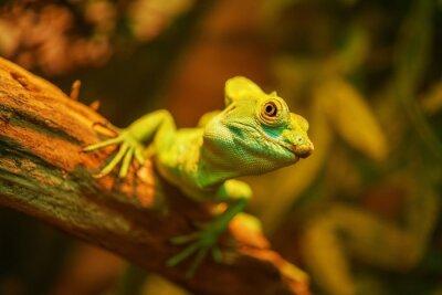 Plakat Piękna duża iguana