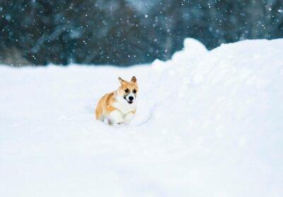piękna mała czerwona corgi zabawa szczeniaka biegnie przez białe pole w zimie w wiosce podczas opadów śniegu
