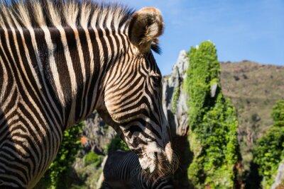 Plakat Piękne African Zebra w swoim naturalnym środowisku