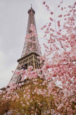 Plakat Piękne drzewo kwiat wiśni i Wieża Eiffla