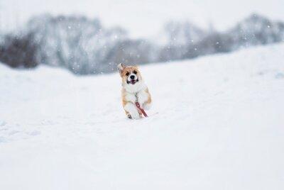 piękny mały czerwony szczeniak Corgi zabawa biegnie na białym polu zimą we wsi podczas opadów śniegu na czerwonej smyczy
