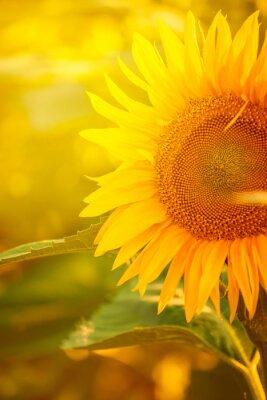 Plakat Piękny Słonecznik w dziedzinie