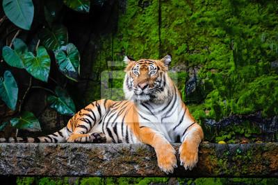 Plakat piękny tygrys bengalski z zielonym tłem siedliska
