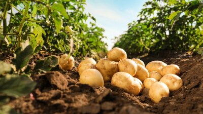 Plakat Pile of ripe potatoes on ground in field