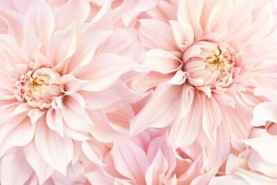 Plakat Pink delicate blossoming dahlias, summer blooming flowers festive background, pastel and soft bouquet floral card, selective focus, toned