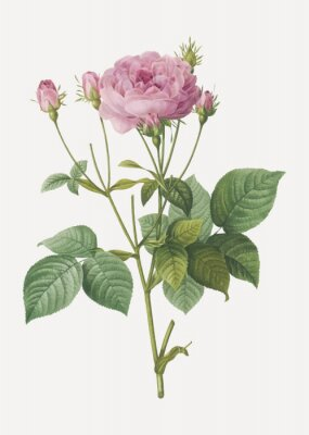 Plakat Pink french roses