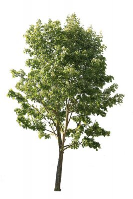 Plakat Plane tree, also known as Platanus, isolated tree cutout on white background