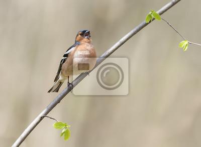 Płci męskiej ptaki Fincha śpiewa w lesie otoczonym młodymi liśćmi