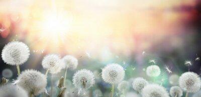 Plakat Pole Dandelion w zachodzie słońca - bokeh i alergii