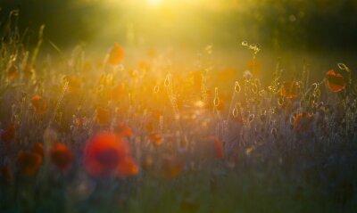 Plakat Pole jasne, czerwone maki na polu pod słońce,