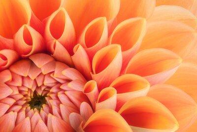 Plakat Pomarańczowy płatki kwiatów, zamknąć i makro chryzantema, piękne abstrakcyjne tło