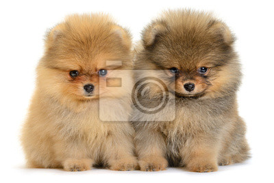 Pomorska puppy
