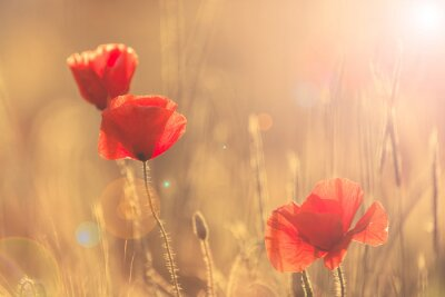 Plakat Poppies in summer nature field with bright golden light/summer background/spring background