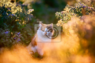 Plakat portrait beautiful fluffy cat sits in a thicket of bright blue and lilac flowers in a Sunny meadow flooded with warm light in the evening in summer