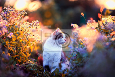 Plakat portrait beautiful fluffy cat sits on the sunlit warm light meadow with bright blue and lilac flowers in the summer evening and looks into the distance