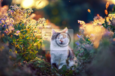 Plakat portrait beautiful the fluffy cat sits on a blossoming meadow in the sunset evening light in the summer closing his eyes with pleasure
