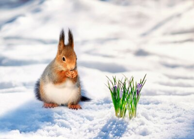 portrait cute redhead squirrel walks in spring Park in white snow at first flowers lilac snowdrops
