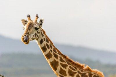 Plakat Portrait einer Giraffe die mit Ihrer zunge in der Nase hängt.