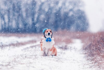 portrait of a cute puppy of a red Corgi dog sitting on a field on a winter day in a funny knitted hat covering his eyes during a heavy snowfall