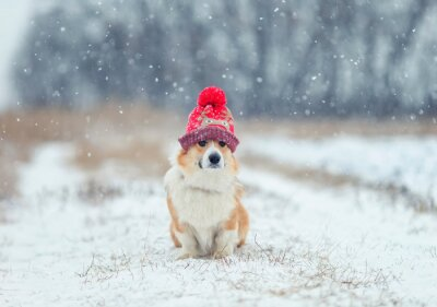 portrait of a cute puppy of a red Corgi dog sitting on a field on a winter day in a funny knitted hat during a snowfall and looking into the distance