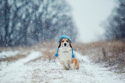 portrait of a cute puppy red dog Corgi sitting in the Park on a winter day in a funny knitted hat covering his eyes during a heavy snowfall