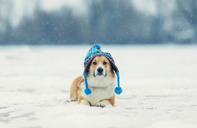 portrait of a cute red Corgi dog lying on a white ground in the winter day in a funny knitted hat during a heavy snowfall
