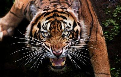 Plakat portrait of a tiger
