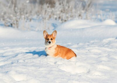 portrait of the animal little red Corgi puppy walks in the Sunny winter pack in deep white snow