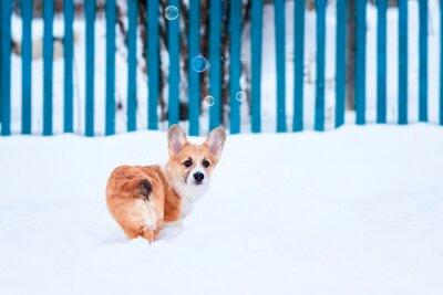 portret małego śmiesznego rudego szczeniaka corgi chodzącego w głębokich białych zaspach zimą we wsi