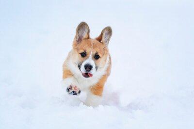 Portret małego śmiesznego rudowłosego szczeniaka Corgi chodzącego w głębokich białych zaspach w zimie wysoko podnoszącego małe łapy i wystającego języka