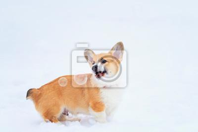 portret małego śmiesznego rudowłosego szczeniaka corgi chodzi zimą w głębokie białe zaspy śnieżne i łapie bańki mydlane