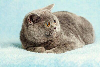 Plakat Portret Niebieski Kot brytyjski
