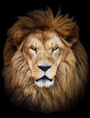 Plakat Portret ogromnej pięknej męskiej lwa afrykańskiego z czarnym backg