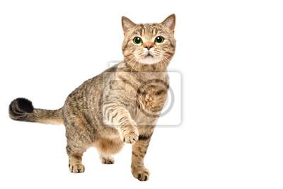Plakat Portret powabnego ciekawego kota Szkocka Prosta pozycja z nastroszoną łapą odizolowywającą na białym tle