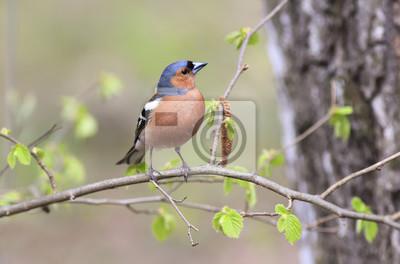 Portret ptaka Finch w lesie otoczony liśćmi młodych