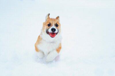 Portret śmiesznego małego rudowłosego szczeniaka Corgi chodzi zimą w głębokie białe zaspy śnieżne i zręcznie biegnie