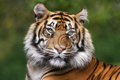 Plakat Portret Tygrys bengalski