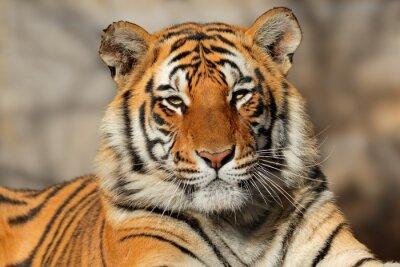 Plakat Portret Tygrys bengalski (Panthera Tigris bengalensis).