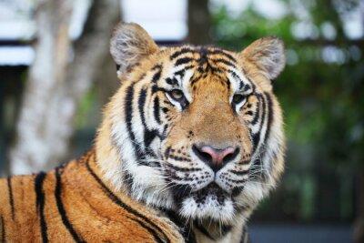 Plakat Portret tygrysa syberyjskiego