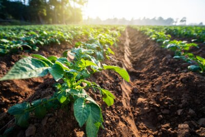 Plakat potato plant field