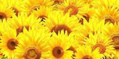 Poziomy tła z jasnymi żółtymi słonecznikami