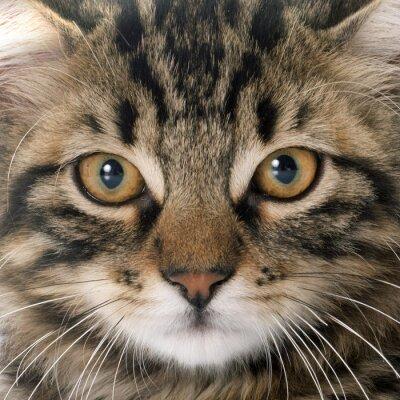 Plakat pręgowany kot