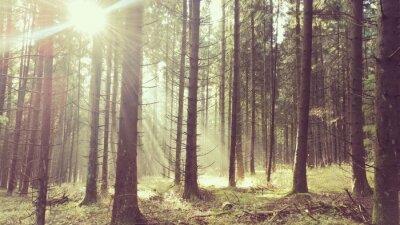 Plakat Promienie słońca w lesie