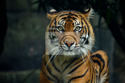 Plakat Proud Sumatran Tiger laying down and looking straight at the camera 2