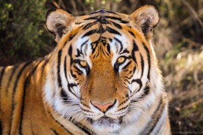 Plakat Przeznaczone do walki radioelektronicznej Portret z tygrysa
